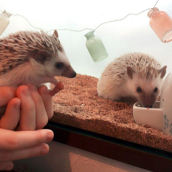 Hate cats? Then this hedgehog café is right up your alley (фото 1)