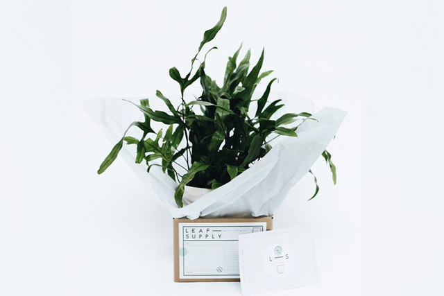 Leaf Supply indoor plant, $39